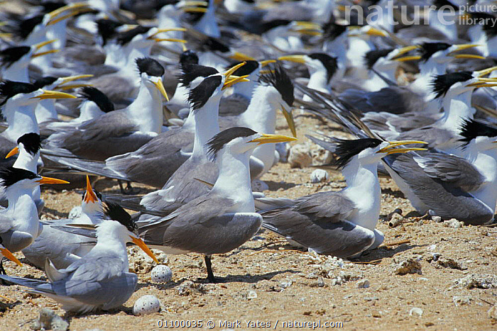 Crested & Lesser crested terns nesting {Thalasseus bergii & bengalensis} Persian Gulf, Iran  ,  BEACH,BEACHES,BENGALENSIS,BIRD,BIRDS,COASTS,COLONIES,GROUPS,MASS,MIDDLE EAST,MIXED SPECIES,NEST,NESTING BEHAVIOUR,NESTS,SEABIRDS,Reproduction  ,  Mark Yates
