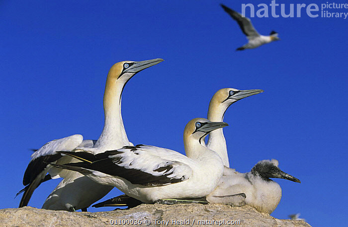Cape gannets with chick {Morus capensis} Lamberts Bay, South Africa  ,  AFRICA,BIRDS,FAMILIES,GANNETS,GROUPS,HORIZONTAL,SEABIRDS,SOUTHERN AFRICA,VERTEBRATES,Boobies, Seabirds  ,  Tony Heald