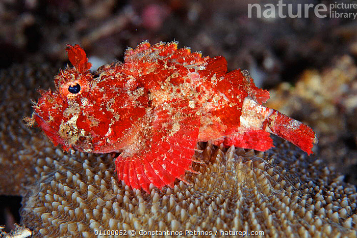 Mozambique scorpionfish {Parascorpaena mossambica} Sulawesi Indonesia. Indo Pacific  ,  AQUATIC,CPE,FIN,FINS,FISH,HORIZONTAL,MARINE,OCEAN,OSTEICHTHYES,PETRINOS,PORTRAIT,PORTRAITS,PROFILE,SEA,SPINES,SULAWESI,TROPICAL,SOUTHERN AFRICA  ,  Constantinos Petrinos
