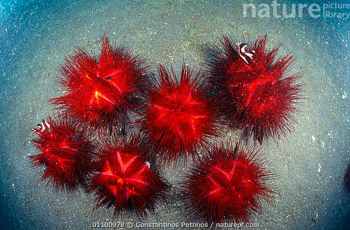 Radiant sea urchins grouped on sea floor {Astropyga radiata} Sulawesi Indonesia - small fish find safety amongst their spines. Indo Pacific  ,  AQUATIC,ASIA,CPE,ECHINODERMS,FISH,GROUPS,HIDE,HORIZONTAL,INDO PACIFIC,INDONESIA,INVERTEBRATES,MARINE,MIXED SPECIES,SO,SPINES,SULAWESI,TROPICAL,UNDERWATER  ,  Constantinos Petrinos