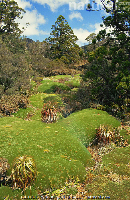 Giant Cushion plants, highlands Tasmania, Australia  ,  AUSTRALASIA,AUSTRALIA,HABITAT,HIGHLANDS,LANDSCAPES,MOSS,PLANTS,TREES,VERTICAL  ,  NEIL NIGHTINGALE