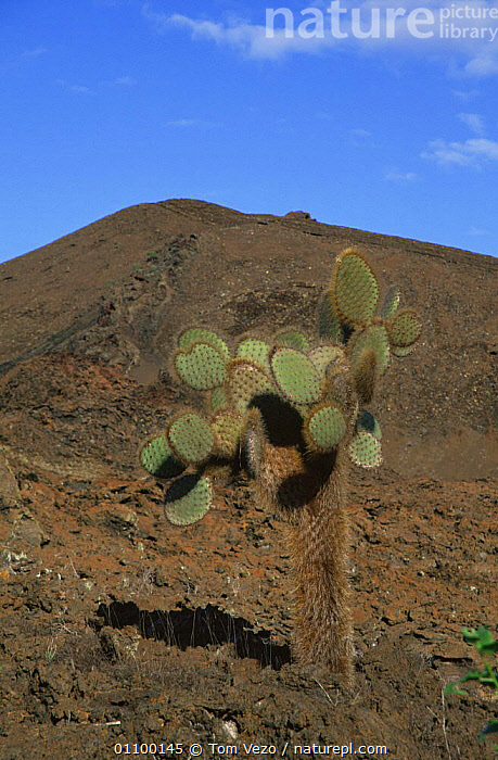 Cactus in barren landscape, Bartolome Island, Galapagos Islands, South America  ,  CACTUS,GALAPAGOS,HABITAT,LANDSCAPES,PACIFIC ISLANDS,PLANTS,SOUTH AMERICA,VERTICAL,SOUTH-AMERICA  ,  Tom Vezo