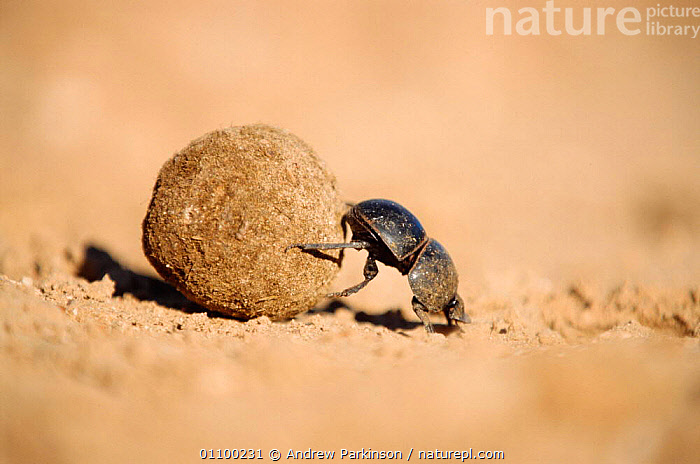 Flightless dung beetle {Circellium bacchus} female rolling buffalo dung ball to lay egg in , Addo Elephant park, South Africa  ,  ACTION,ADDO ELEPHANT,AFRICA,AFRICAN,APA,BALL,BEETLE,BEHAVIOUR,COLEOPTERA,DESERT,DESERTS,ENDANGERED,FAECES,FEMALE,FEMALES,HORIZONTAL,INSECT,INSECTS,INVERTEBRATES,PARK,PARKINSON,PUSHING,REPRODUCTION,RESERVE,ROLLING,SOUTHERN AFRICA,WILDLIFE,Catalogue1  ,  Andrew Parkinson