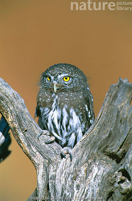 Northern pygmy owl portrait {Glaucidium gnoma} captive, raptor rehab centre  ,  AMERICA,BIRDS OF PREY,BIRD,PORTRAITS,USA,HAWKS,ALOFT,BIRDS,VERTICAL,NORTH,North America,Owls,Raptor  ,  Tom Vezo
