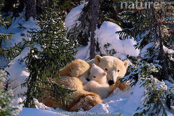 Female Polar bear with very small cubs {Ursus maritimus} Canada  ,  AFFECTION,AFFECTIONATE,BABIES,BABY,CANADA,CARE,CARING,CARNIVORE,CARNIVORES,CUTE,DPI,FAMILIES,FAMILY,FEMALE,HORIZONTAL,MAMMAL,MAMMALS,MOTHER,OUTSTANDING,PARENTAL,PROTECTION,PROTECTIVE,SMALL,SNOW,TINY,TREES,YOUNG,NORTH AMERICA,CONCEPTS,PLANTS  ,  David Pike