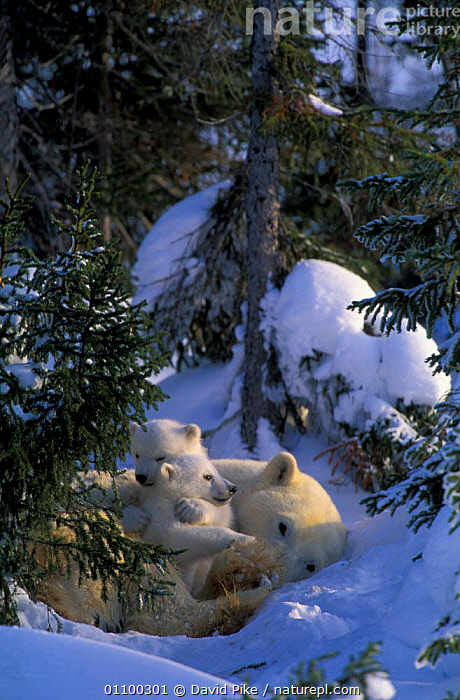 Female Polar bear with very small cubs {Ursus maritimus} Watchee lodge, Canada  ,  MAMMALS,MOTHER,NEWBORN,NORTH,AMERICA,FAMILIES,GROUPS,CUTE,BEARS,CARNIVORES,BABY,BABIES,AFFECTIONATE,ARCTIC,VERTICAL,TREES,SNOW,PARENTAL,CONCEPTS,PLANTS ,CANADA,North America  ,  David Pike