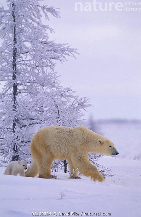 Polar bear walking with very small cub {Ursus maritimus} Watchee lodge, Canada  ,  SNOW,VERTICAL,TWO,YOUNG,ARCTIC,BABIES,BABY,CARNIVORES,BEARS,CUTE,HABITAT,FAMILIES,NORTH,AMERICA,MOTHER,MAMMALS ,CANADA,North America  ,  David Pike