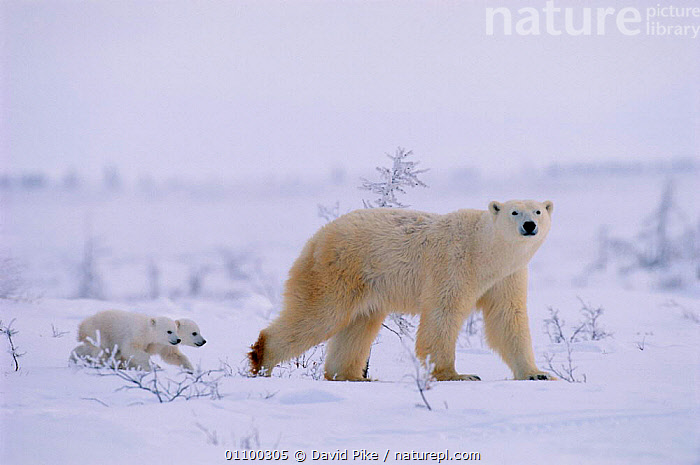 Polar bear walking with very small cubs following {Ursus maritimus} Canada  ,  ARCTIC,BABIES,BABY,CANADA,CARNIVORE,CARNIVORES,CUB,CUBS,CUTE,DPI,FAMILIES,FAMILY,FEMALE,HORIZONTAL,MAMMAL,MAMMALS,MOTHER,OUTSTANDING,SMALL,SNOW,TINY,WALKING,YOUNG,NORTH AMERICA,SIZE  ,  David Pike