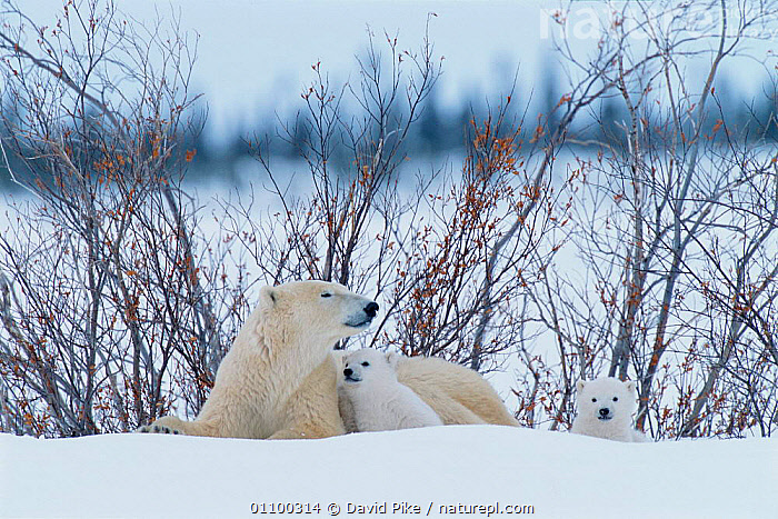 Polar bear  with very small cubs {Ursus maritimus} Canada  ,  AFFECTION,AFFECTIONATE,ARCTIC,BABIES,BABY,CANADA,CARE,CARNIVORE,CARNIVORES,COLD,CUBS,CUTE,DPI,FAMILIES,FAMILY,FEMALES,HORIZONTAL,JUVENILE,MAMMAL,MAMMALS,MOTHER,REST,RESTING,SMALL,SNOW,TINY,WILDLIFE,YOUNG,NORTH AMERICA,CONCEPTS  ,  David Pike