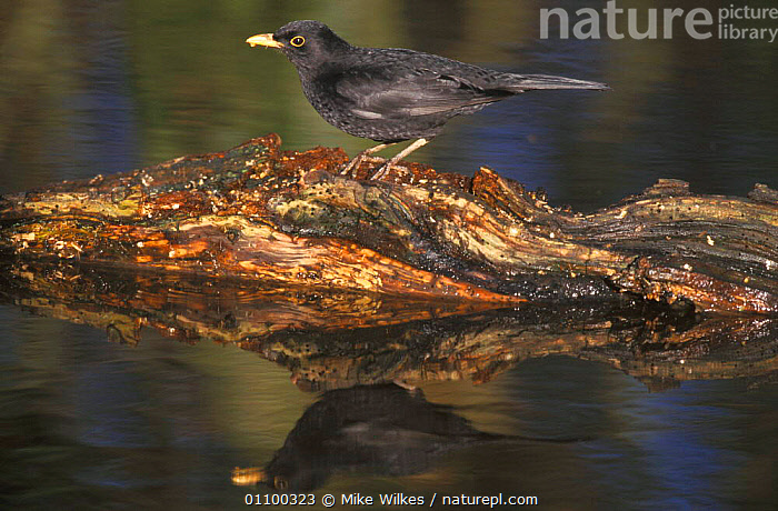 Male Blackbird on log in water {Turdus merula} Worcester, UK February  ,  BIRD,BIRDS,ENGLAND,EUROPE,HORIZONTAL,MALES,MW,PASSERINES,PORTRAITS,PROFILE,REFLECTION,REFLECTIONS,UK,WATER,WINTER,UNITED KINGDOM,BRITISH  ,  Mike Wilkes