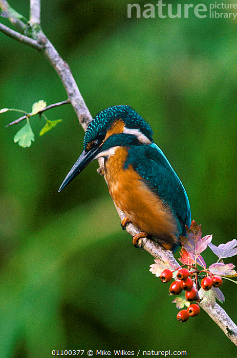 Common kingfisher perched on branch {Alcedo atthis} Wiltshire, England, UK  ,  EUROPE,KINGFISHERS,BIRDS,SUMMER  ,  Mike Wilkes