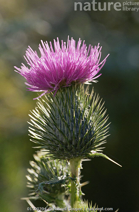 Spear thistle {Cirsium vulgare} flower , UK  ,  ASTERACEAE,COMPOSITAE,DICOTYLEDONS,EUROPE,FLOWERS,PLANTS,THORNS,VERTICAL  ,  Russell Cooper