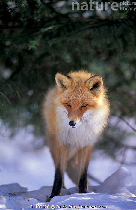 Northern Red fox subspecies in snow {Vulpes vulpes schrencki} captive, Japan  ,  MAMMAL,CARNIVORES,WINTER,CARNIVORE,MAMMALS,REST,CANIDS,CANIDS,FOXES,PORTRAITS,SCHRENCKI,DOGS,Asia  ,  David Pike