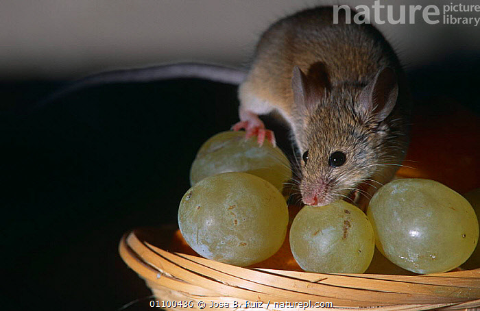 House mouse {Mus musculus} on fruit bowl with grapes, Captive, Spain  ,  EUROPE,FEEDING,MAMMALS,MICE,PESTS,RODENTS,SPAIN,URBAN,VERTEBRATES,Muridae  ,  Jose B. Ruiz