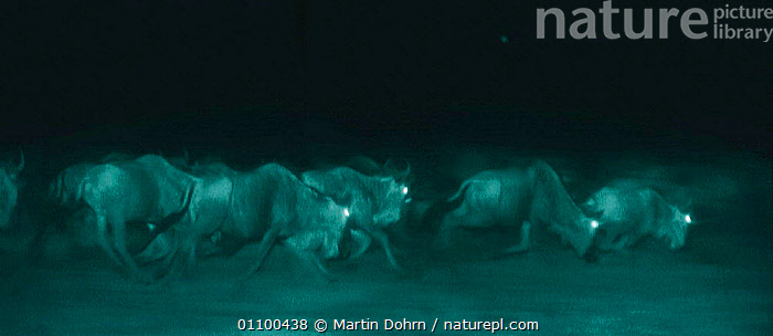 Stampeding Wildebeest {Connochaetes taurinus}. Heads held low to see ground in pitch black night. Serengeti, Tanzania, East Africa. Infra red image from 'Starlight' camera, from film.  ,  ACTION,AFRICA,BEHAVIOUR,EAST AFRICA,EYES,GROUPS,HEADS,INFRA RED,INFRA RED,MAMMALS,MD,MOVEMENT,NIGHT,NIGHTTIME,SERENGETI,SERENGETI THE BALANCE OF POWER,STAMPEDING,STARLIGHT,TANZANIA,ANTELOPES,Catalogue1,,Serengeti National Park, UNESCO World Heritage Site,  ,  Martin Dohrn