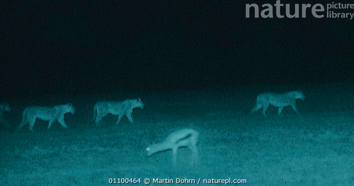 Holding head low, a Gazelle watches lion pride walk by. Serengeti NP, Ngorongoro Conservation Area, Tanzania. Image taken at night using 'Starlight Camera' technology and infra red light.  ,  AFRICA,BEHAVIOUR,DANGER,EAST AFRICA,GROUPS,HUNTING,INFRA RED,INTERESTING,LIONS,MAMMALS,MD,MIXED SPECIES,NIGHT,NP,PREDATORS,SERENGETI,SERENGETI THE BALANCE OF POWER,TANZANIA,THE BALANCE OF POWER,NATIONAL PARK,BIG CATS,Catalogue1,,Serengeti National Park, UNESCO World Heritage Site,  ,  Martin Dohrn