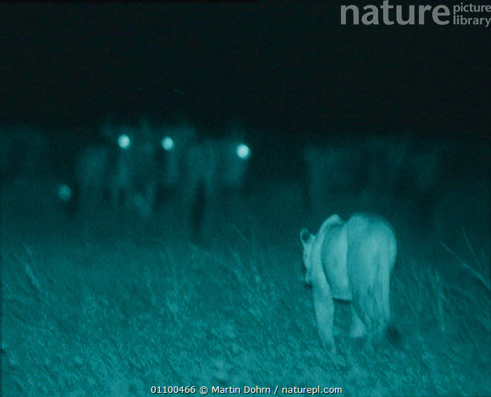 Lioness stalking Wildebeest at night. Unable to spot the lion, the wildebeest can be hunted without stealth. Image taken using 'Starlight Camera' technology and infra red light. Serengeti NP Ngorongoro Conservation Area, Tanzania, East Africa  ,  AFRICA,BEHAVIOUR,CARNIVORES,EAST AFRICA,FEMALES,HERD,HUNTING,INFRA RED,LIONS,MAMMALS,MD,NIGHT,NP,PREDATION,SERENGETI,SERENGETI THE BALANCE OF POWER,TANZANIA,THE BALANCE OF POWER,WILDEBEEST,NATIONAL PARK,BIG CATS,Catalogue1,,Serengeti National Park, UNESCO World Heritage Site,  ,  Martin Dohrn