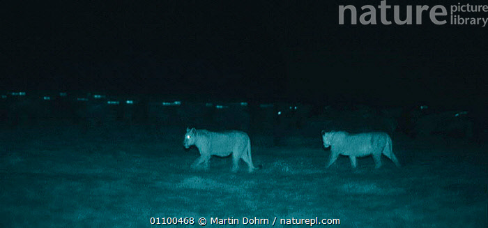 Two Lions walk undetected amongst Wildebeest herd at night  Serengeti NP, Tanzania, East Africa. Image taken using 'Starlight Camera' technology without artificial lighting. Ngorongoro Conservation Area  ,  AFRICA,CARNIVORES,EAST AFRICA,EYES,GROUPS,HERD,LIONESS,LIONESSES,LIONS,MAMMALS,MD,NGOROGORO,NIGHT,NP,PREDATION,PREDATOR,PREY,TANZANIA,TWO,USING,WALK,WILDEBEEST,BEHAVIOUR,NATIONAL PARK,BIG CATS,,Serengeti National Park, UNESCO World Heritage Site,  ,  Martin Dohrn