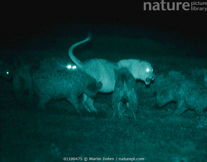 Spotted hyaenas harrass lioness. Serengeti NP, Tanzania, East Africa. Infra-red image taken at night using 'Starlight Camera' technology without artificial lighting. Ngorongoro Conservation Area,  ,  ACTION,AGGRESSION,CARNIVORES,DISPUTE,GROUPS,HYENA,HYENAS,IMAGE,INFRA RED,LION,LIONS,MAMMALS,MD,MIXED SPECIES,NIGHT,NP,SERENGETI,SERENGETI THE BALANCE OF POWER,TANZANIA,CONCEPTS,NATIONAL PARK,,Serengeti National Park, UNESCO World Heritage Site,  ,  Martin Dohrn
