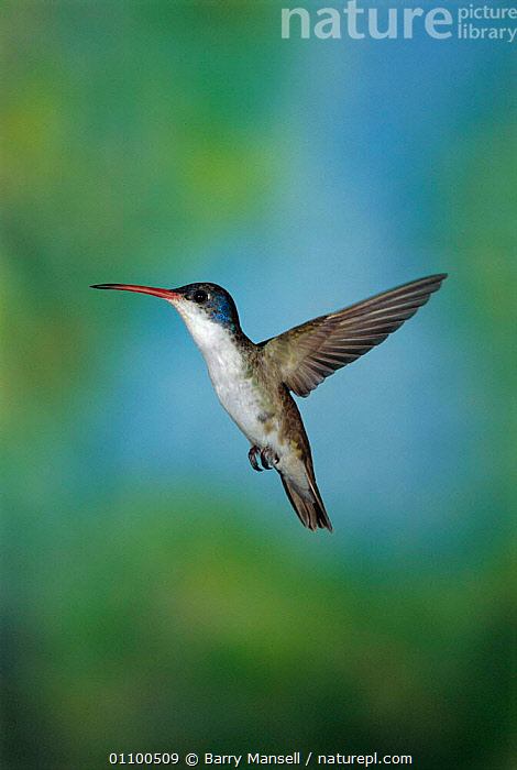 Violet crowned hummingbird hovering {Amazilia violiceps} Sonora, Mexico  ,  AMERICA,BIRD,BIRDS,CENTRAL,CENTRAL AMERICA,FLYING,HUMMINGBIRDS,VERTICAL  ,  Barry Mansell