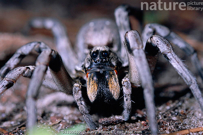 Carolina wolf spider portrait {Lycosa carolinensis}  Florida, USA  ,  ARACHNIDS,BMA,CLOSE UPS,FACES,FLORIDA,HEADS,INVERTEBRATE,INVERTEBRATES,NORTH,NORTH AMERICA,PORTRAITS,USA  ,  Barry Mansell