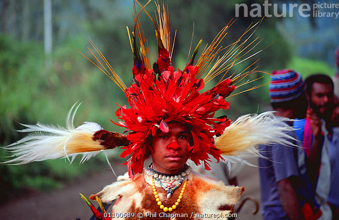 Tribal dancer in traditional dress with birds of paradise feathers in headdress, Papua New Guinea  ,  ASIA,BIRDS,CULTURES,FEATHERS,HIGHLANDS,MALES,PAPUA NEW GUINEA,PEOPLE,SOUTH EAST ASIA,TRADITIONAL,TRIBES,WEST-AFRICA  ,  Phil Chapman