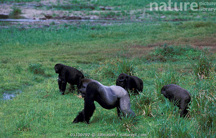 Western lowland gorilla family feed in bai /forest clearing {Gorilla gorilla gorilla} Odzala  ,  CENTRAL,CENTRAL AFRICA,GREAT APES,AFRICA,FAMILIES,GORILLAS,MAMMALS,NP,REP,PRIMATES,SILVERBACK,PRIMATE,GROUPS,FEEDING,RESERVE,MAMMAL,TROPICAL RAINFOREST,CONGO,GROUP,NATIONAL PARK , Bruce Davidson  ,  Jabruson