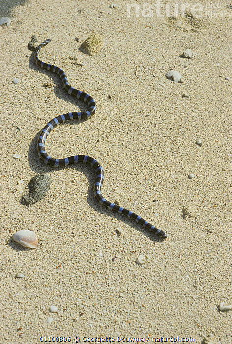 Seasnake on beach {Laticauda laticaudata} New Caledonia, Pacific, Ile de Maitre  ,  BEACHES,DE,GD,LAND,MARINE,,PACIFIC,POISONOUS,REPTILE,REPTILES,VERTICAL ,OCEANIA,SNAKES  ,  Georgette Douwma
