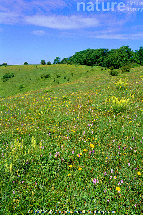 Chalk downland flowers, Beacon Hill NNR, Hampshire, UK  ,  BRITISH,CGO,DOWNLAND,EUROPE,FLOWER,FLOWERS,GRASSLAND,HABITAT,LANDSCAPE,LANDSCAPES,MEADOWLAND,MIXED SPECIES,NNR,ORCHIDS,RESERVE,SCENIC,SCENICS,SPECIES,SUMMER,UK,UNITED KINGDOM,VERTICAL,ENGLAND  ,  Chris Gomersall