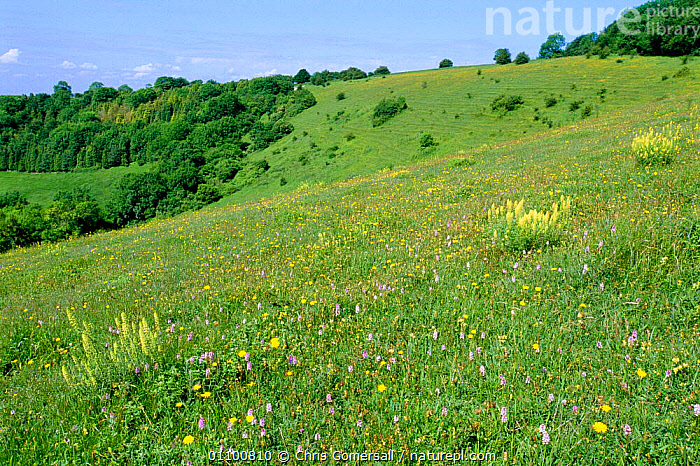 Chalk downland mixed flowers on Beacon Hill NNR, Hampshire, UK  ,  BRITISH,CGO,DOWNLAND,EUROPE,FLOWERS,GRASSLAND,HABITAT,HORIZONTAL,LANDSCAPE,LANDSCAPES,MEADOWLAND,MEADOWS,MIXED SPECIES,NNR,ORCHIDS,RESERVE,SCENIC,SCENICS,SUMMER,UK,UNITED KINGDOM,ENGLAND  ,  Chris Gomersall