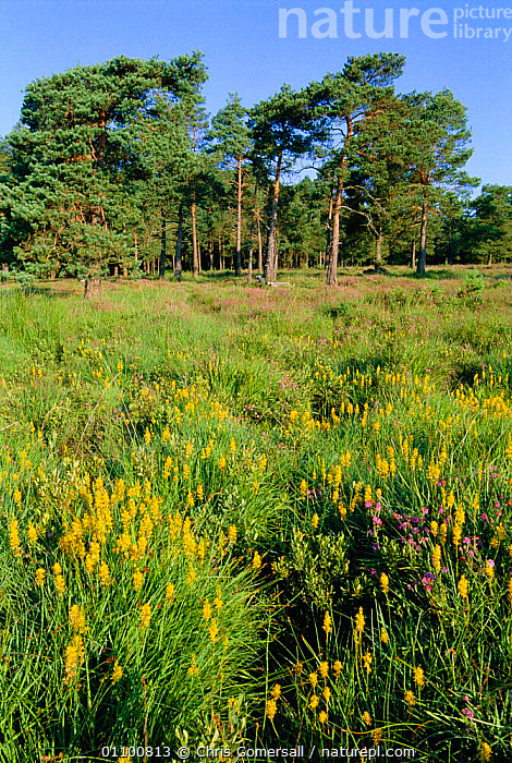 Peat bog with Bog asphodel {Narthecium ossifragum} flowers and Scots pine trees, Kingston Great Common NNR Hampshire, UK - lowland heathland  ,  BOGS,BRITISH,CGO,CONIFEROUS,EUROPE,FLOWERS,HABITAT,HEATHLAND,LANDSCAPES,MIRE,MIXED SPECIES,NNR,PLANTS,RESERVE,SUMMER,TREES,UK,UNITED KINGDOM,VERTICAL,WETLANDS,ENGLAND  ,  Chris Gomersall