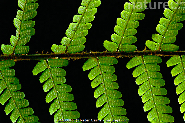 RF- Bracken (Pteridium aquilinum) leaf frond close-up. Strathspey, Scotland, UK. (This image may be licensed either as rights managed or royalty free.)  ,  DENNSTAEDTIACEAE,EUROPE,FERNS,GREEN,LEAVES,PLANTS,PTERIDOPHYTES,SCOTLAND,,PTERIDIUM AQUILINUM,Plant,Vascular plant,Leptosporangiate fern,Bracken fern,Bracken,Plantae,Plant,Tracheophyta,Vascular plant,Polypodiopsida,Leptosporangiate fern,Modern fern,Fern,Pteridophyte,Pteridophytina,Polypodiales,Dennstaedtiaceae,Pteridium,Bracken fern,Brake fern,Brake ferns,Brackenfern,Pteridium aquilinum,Bracken,Brake,Common bracken,Northern bracken fern,Pteris aquilina,Pteridium latiusculum,Pteris lanuginosa,Growth,Repetition,Colour,Green,Nobody,Vibrant Colour,Pattern,Natural Pattern,Textured,Europe,Western Europe,UK,Great Britain,Scotland,Full Frame,Plain Background,Black Background,Close Up,Leaf,Foliage,Frond,Fronds,Outdoors,Serrated,RF,Royalty free,RFCAT1,RF17Q1,Strathspey,  ,  Peter Cairns