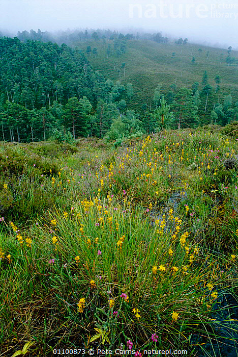 Bog asphodel {Narthecium ossifragrum} flowering on edge of pine forest, Highlands, Scotland, UK  ,  BOGS,BRITISH,CONIFEROUS,EUROPE,HIGHLANDS,LANDSCAPE,LANDSCAPES,PCA,UK,UNITED KINGDOM,VERTICAL,WETLANDS,WOODLANDS,SCOTLAND, United Kingdom  ,  Pete Cairns