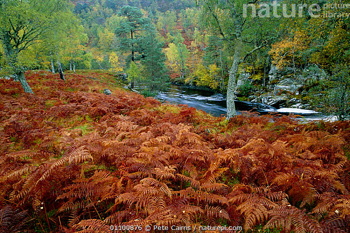 Birch woodland in autumn with river + bracken. Glen Strathfarra NNR, Scotland, UK  ,  AUTUMN,BIRCH,BRACKEN,BRITISH,BROADLEAF,EUROPE,HIGHLANDS,HORIZONTAL,LANDSCAPE,LANDSCAPES,NNR,OUTSTANDING,PCA,RIVERS,UK,UNITED KINGDOM,WOODLANDS,SCOTLAND, United Kingdom  ,  Pete Cairns