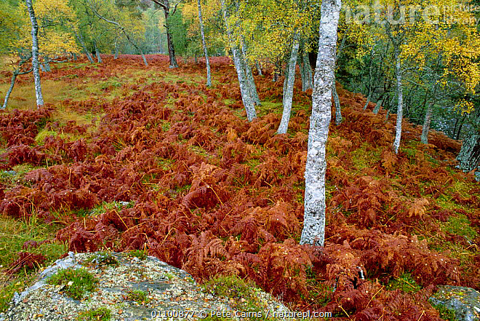 Birch woodland in Autumn. Glen Strathfarra NNR, Highlands Scotland, UK  ,  AUTUMN,BIRCH,BRACKEN,BRITISH,BROADLEAF,EUROPE,HORIZONTAL,LANDSCAPES,MIXED WOODLAND,NNR,OUTSTANDING,PCA,SCENIC,UK,UNITED KINGDOM,WOODLAND,WOODLANDS,SCOTLAND, United Kingdom  ,  Pete Cairns