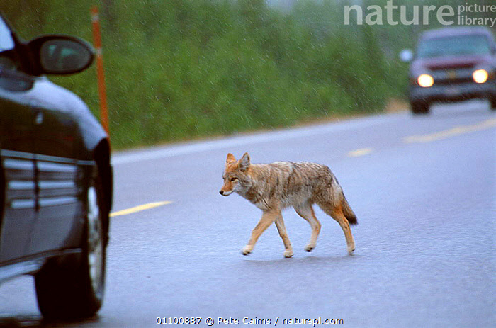 Coyote crossing road {Canis latrans} Yellowstone NP, Wyoming, USA  ,  AMERICA,CANIDS,CAR,CARNIVORE,CARNIVORES,CARS,CROSSING,DOGS,HORIZONTAL,MAMMAL,MAMMALS,NATIONAL PARK,NORTH AMERICA,NP,PCA,RESERVE,ROAD,ROADS,TRAFFIC,USA,VEHICLE,VEHICLES,VERTICAL,WYOMING,YELLOWSTONE  ,  Pete Cairns
