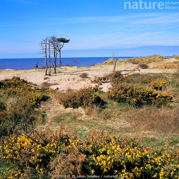 Gorse thickets growing in fixed dunes at Formby, Merseyside, UK.  ,  COASTAL WATERS,COASTS,ENGLAND,EUROPE,HABITAT,LANDSCAPES,SAND,SAND DUNES,VERTICAL,Deserts  ,  Jason Smalley