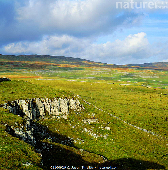 Limestone Country landscape with livestock grazing, Yorkshire Moors, UK  ,  VERTICAL,CATTLE,SCENICS,FEEDING,GRASSLAND,EUROPE,LANDSCAPES,SHEEP,COUNTRYSIDE,ENGLAND  ,  Jason Smalley
