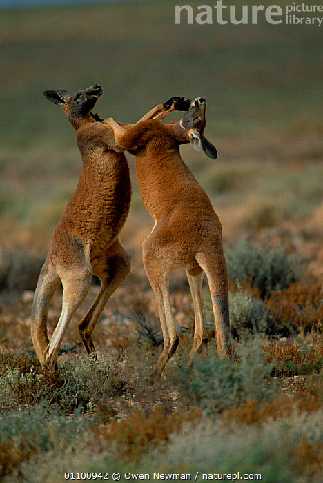 Male Red kangaroos fighting {Macropus rufus} Sturt NP, New South Wales Australia. Red kangaroos are the heavyweight boxing champions of the animal world!  ,  ACTION,AGGRESSION,AGILE,AUSTRALIA,BEHAVIOUR,COMPETITION,DOMINANCE,FIGHTING,KANGAROOS,KICKING,MALE,MALES,MAMMAL,MAMMALS,MARSUPIAL,MARSUPIALS,NP,RESERVE,SOUTH,STRENGTH,STURT,TWO,VERTICAL,CONCEPTS,NATIONAL PARK  ,  Owen Newman