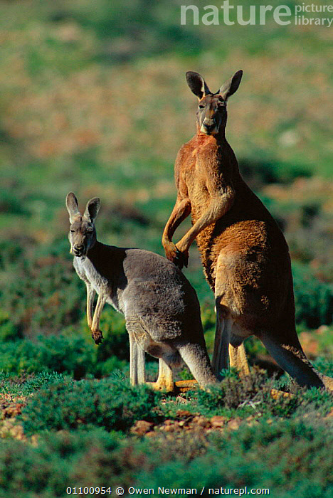 Male and female Red kangaroo {Macropus rufus} Sturt NP, New South Wales Australia. Note size and colour dimorphism / variation  ,  AUSTRALIA,COLOUR CHANGES,FEMALE,FEMALES,MALE,MALE FEMALE PAIR,MALES,MAMMAL,MAMMALS,MARSUPIAL,MARSUPIALS,NB,NP,PAIR,PARK,RESERVE,SEXUAL DIMORPHISM,SIZE,SOUTH,STANDING,STURT,TWO,VERTICAL,NATIONAL PARK  ,  Owen Newman