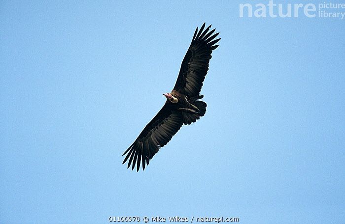 Hooded vulture {Necrosyrtes monachus} soaring, Gambia, West Africa  ,  AFRICA,BIRDS,CUTOUT,FLYING,LOW ANGLE SHOT,VERTEBRATES,VULTURES,WINGS  ,  Mike Wilkes