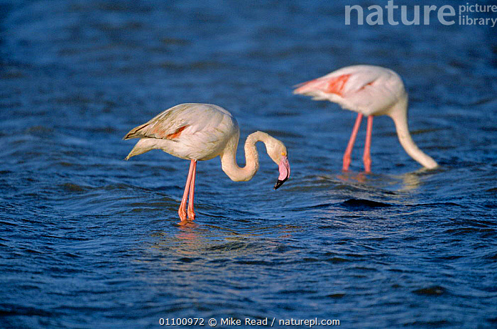 Greater flamingoes feeding {Phoenicopterus ruber} Camargue, France  ,  BIRDS,CAMARGUE,COASTS,EUROPE,FEEDING,FRANCE,HORIZONTAL,MRE,TWO,WADING,WETLANDS  ,  Mike Read