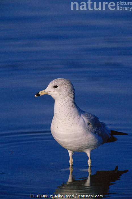 Herring gull, winter plumage {Larus argentatus} Devon, UK  ,  BIRD,BIRDS,BIRITISH,DEVON,ENGLAND,EUROPE,MRE,PLUMAGE,READ,SEABIRD,SEABIRDS,SEAGULL,SEAGULLS,UK,VERTICAL,WILDLIFE,WINTER,UNITED KINGDOM,BRITISH,GULLS  ,  Mike Read