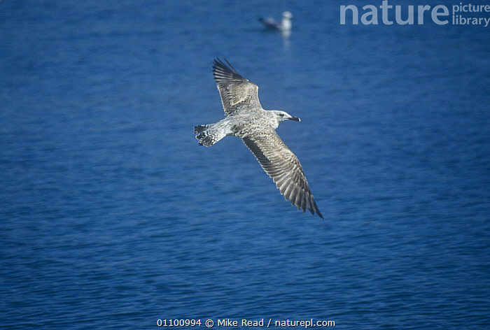 Yellow legged gull juvenile flying {Larus michahellis} Menorca, Balearic Isles Mahon  ,  BIRDS, EUROPE, GULLS, MEDITERRANEAN, SEABIRDS, SPAIN, VERTEBRATES  ,  Mike Read