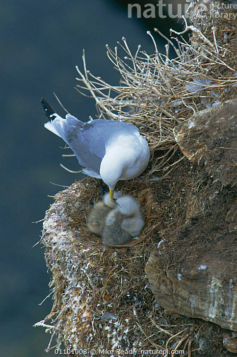 Kittiwake at nest with chicks {Rissa tridactyla} Ekkeroy, Norway  ,  BABIES,BIRDS,CLIFFS,COAST,COASTS,EUROPE,FAMILIES,FAMILY,GULLS,KITTIWAKES,NESTING,NESTS,SEABIRDS,VERTICAL,Geology  ,  Mike Read