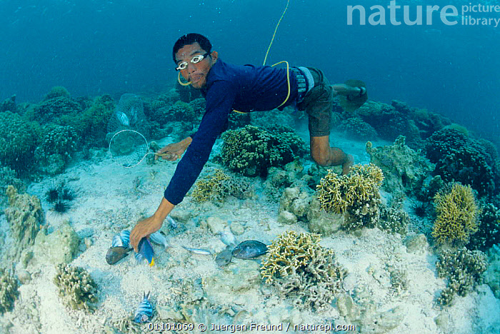Fisherman collecting dynamited fish on coral reef, Philippines 2000  ,  CORAL REEFS,DEATH,DYNAMITE,FISHING,INDO PACIFIC,LANDSCAPES,PEOPLE,REEFS,UNDERWATER,Marine,SOUTH-EAST-ASIA,Asia  ,  Jurgen Freund