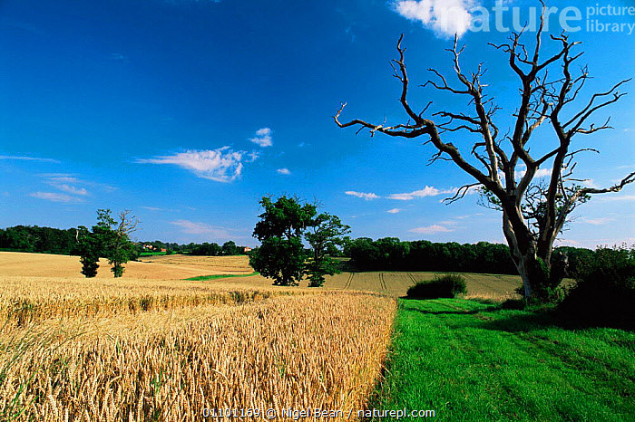 View over wheat fields, Caistor St Edmunds, Norfolk, UK July 1997  ,  COUNTRYSIDE,CROPS,EUROPE,FARMLAND,SUMMER,TREES,UK,United Kingdom,Plants,British,ENGLAND  ,  Nigel Bean