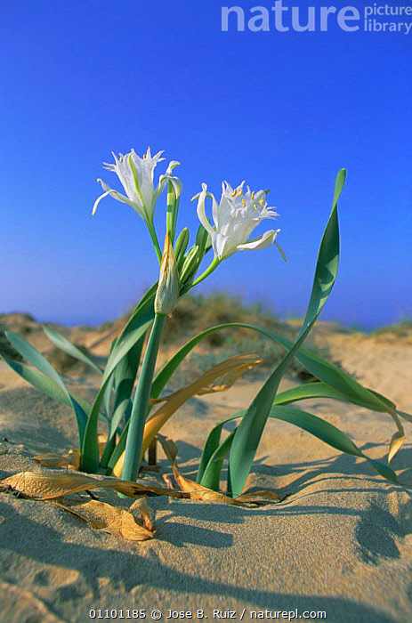 Sea daffodil {Pancratium maritimum} flowering on beach, Spain  ,  BEACHES,COASTS,DAFFODILS,DUNE,DUNES,EUROPE,FLOWERS,PLANTS,SAND,VERTICAL  ,  Jose B. Ruiz