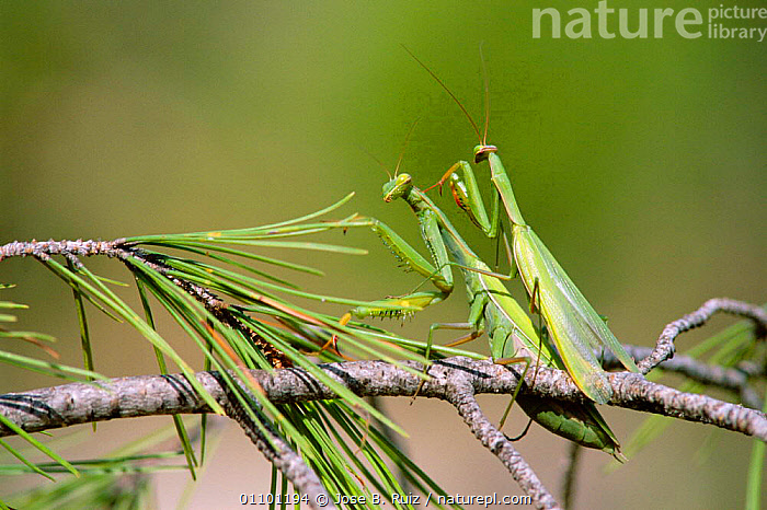 European praying mantis pair mating {Mantis religiosa} Spain. Sequence 1 of 3  ,  BEHAVIOUR,COPULATION,EUROPE,FEMALE,FEMALES,HORIZONTAL,INSECTS,INVERTEBRATES,JRU,MALE FEMALE PAIR,MALES,MATING BEHAVIOUR,ORTHOPTERA,PAIR,REPRODUCTION,SEQUENCE,SPAIN,MANTODEA  ,  Jose B. Ruiz