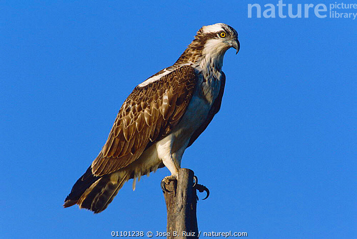 Osprey perched {Pandion haliaetus} Spain  ,  BIRD,,BIRDS,EUROPE,HORIZONTAL,JRU,ONE,RAPTOR,SPAIN ,BIRDS OF PREY  ,  Jose B. Ruiz